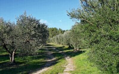 L'olive nîmoise prend du galon